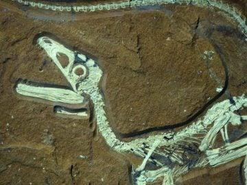 Restos fósiles de un dinosaurio - Imagen de archivo