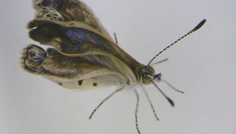 Ejemplar macho mutado de la mariposa Zizeeria maha