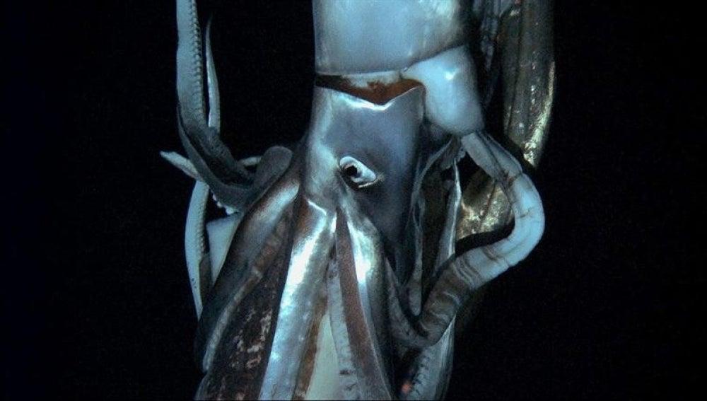 Calamar gigante (Archivo)