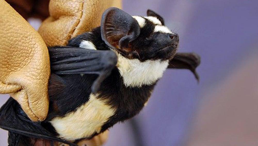 Nueva especie: el murciélago panda (1)