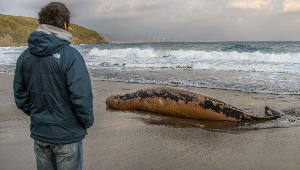 -Un hombre observa la cría de ballena aparecida muerta