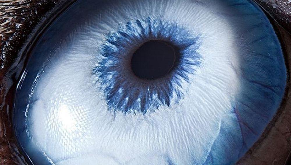 Los ojos celestes del Husky siberiano