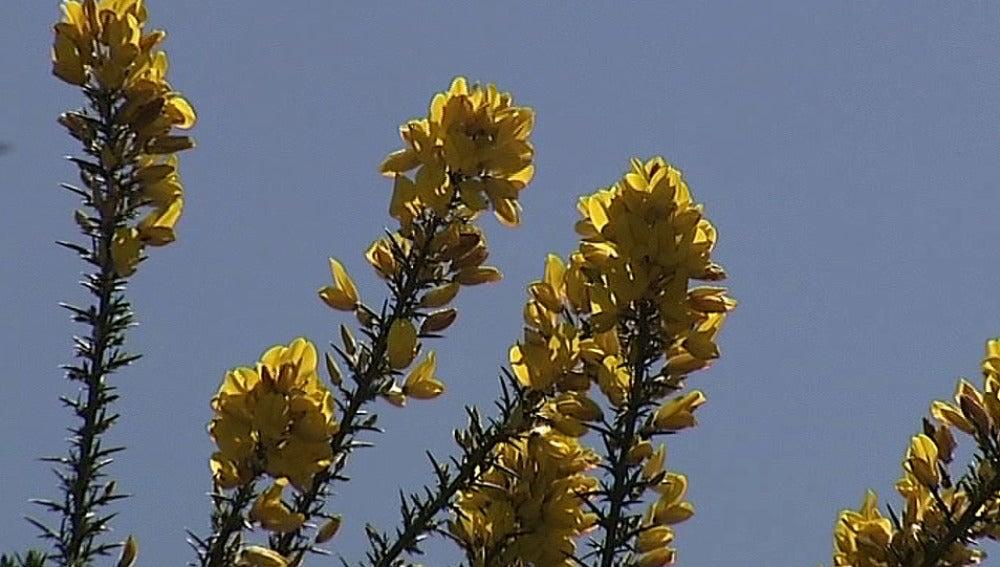 Flor del toxo