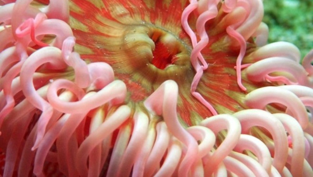 Una anémona de mar