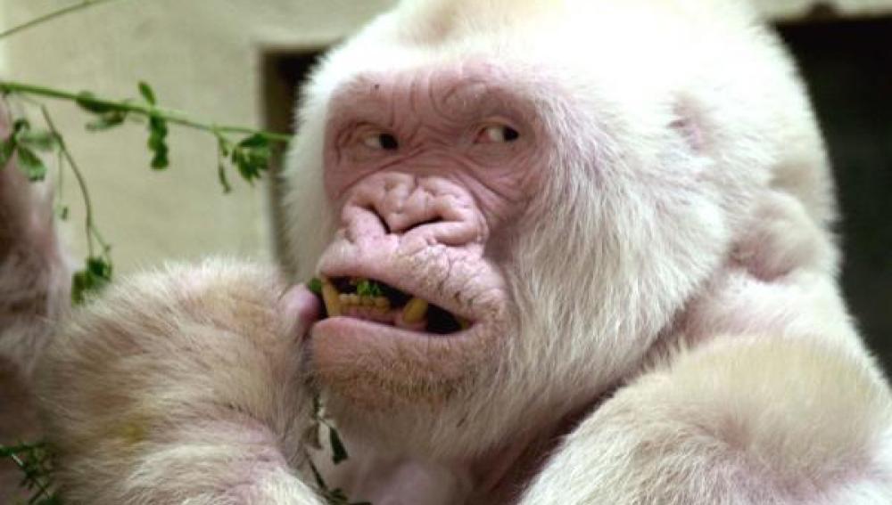 El entrañable gorila albino Copito de Nieve