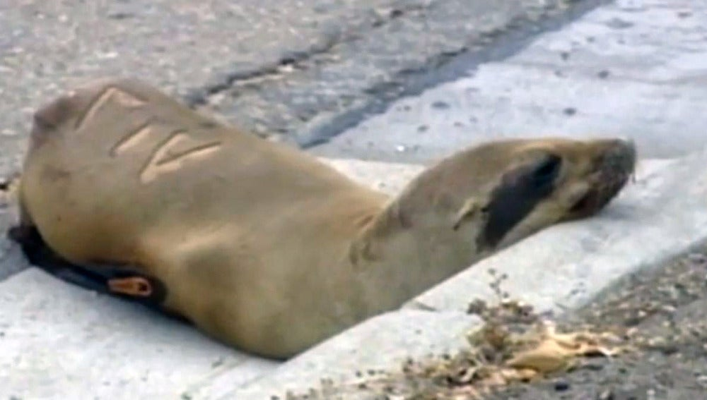 El león marino antes de ser rescatado