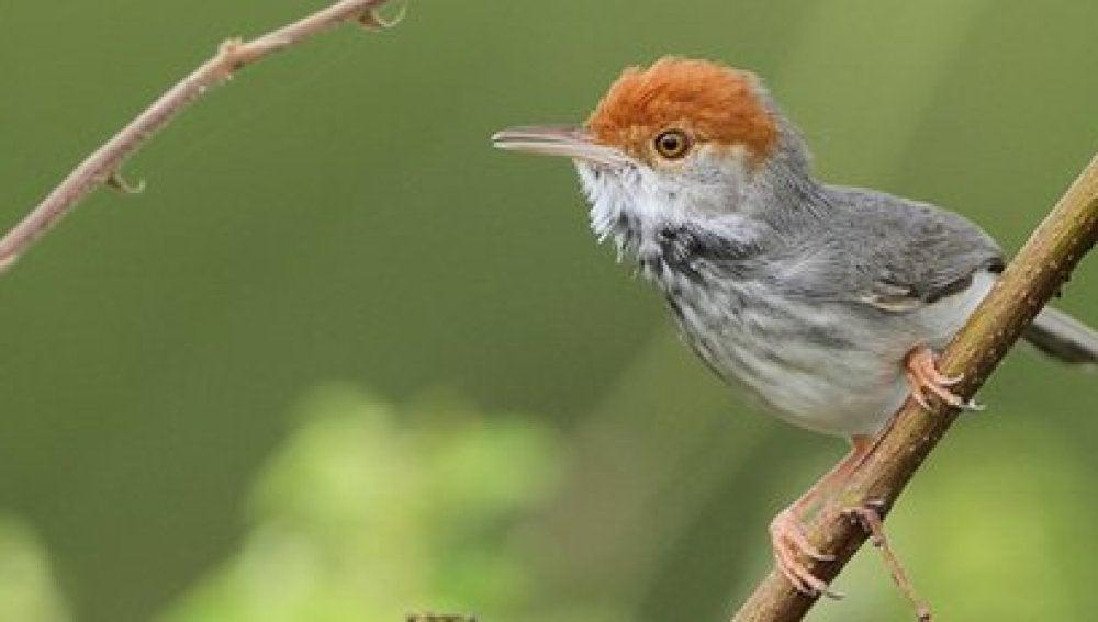 El 'pájaro sastre', descubierto en Camboya