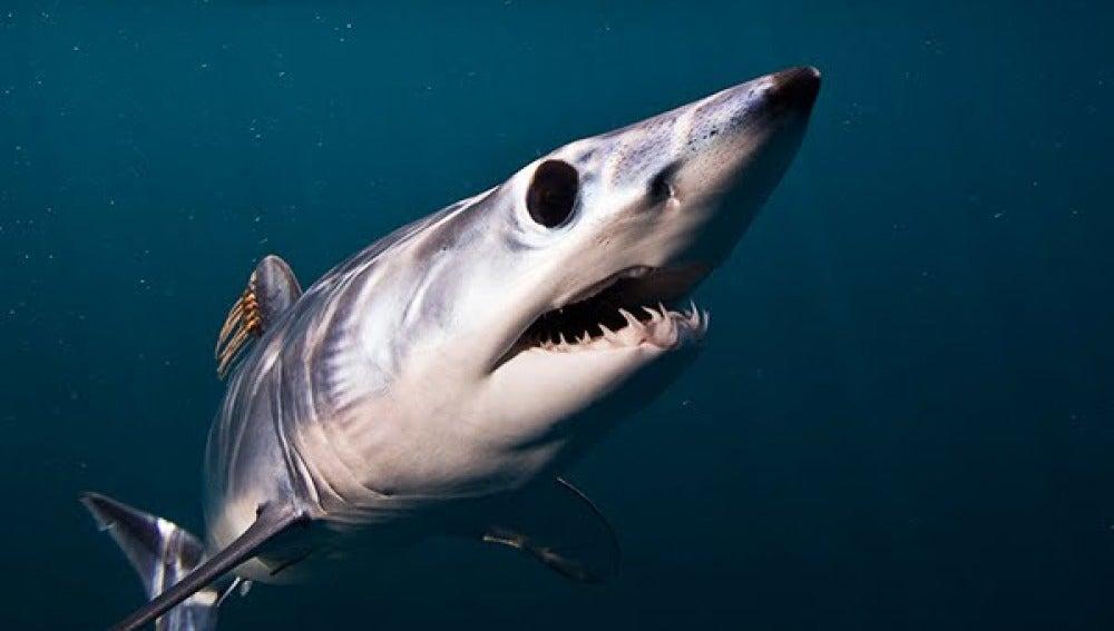 El tiburón mako