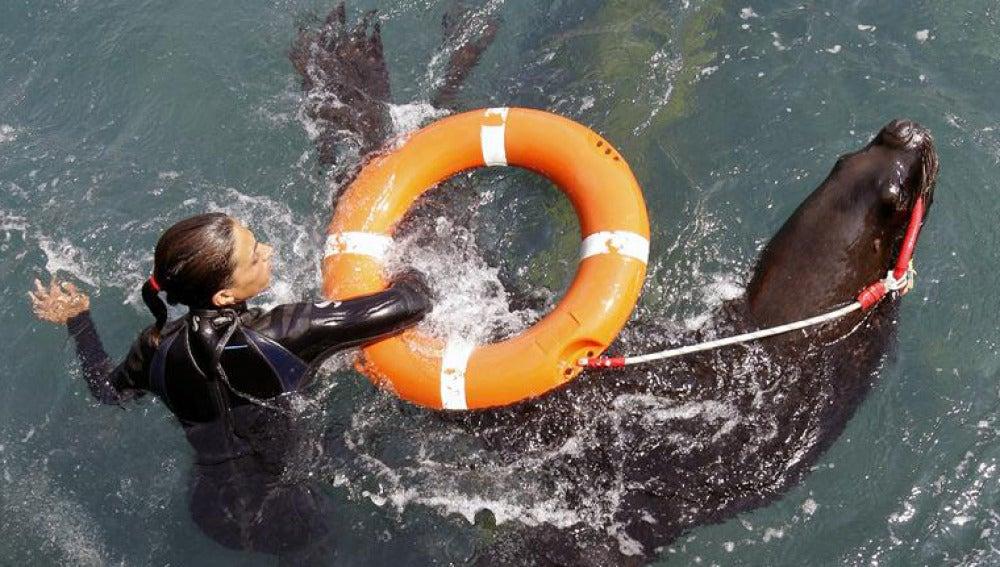 El Oceanográfico de Valencia adiestra a leones marinos para salvar víctimas y localizar buques