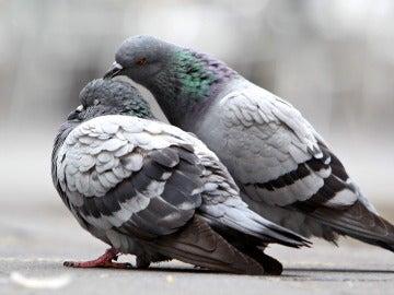Unas palomas se hacen arrumacos en una calle