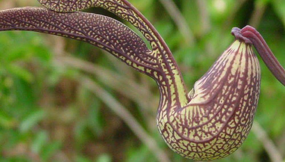 Ejemplar de Aristolochia, un género de plantas usado en la medicina tradicional china
