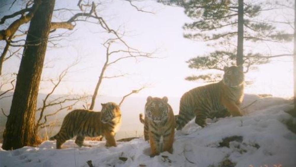 Tigresa siberiana con sus crías (Rusia)