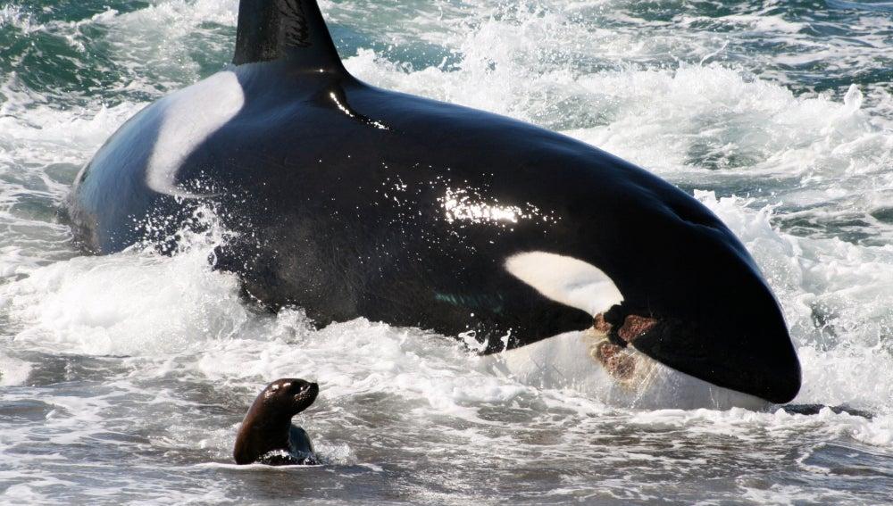Orcas asesinas