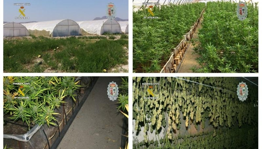 Incautadas en Murcia 14.000 plantas de marihuana