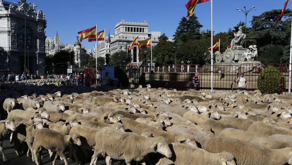 Un rebaño de unas 2.000 ovejas merinas cruzó hoy el centro de Madrid