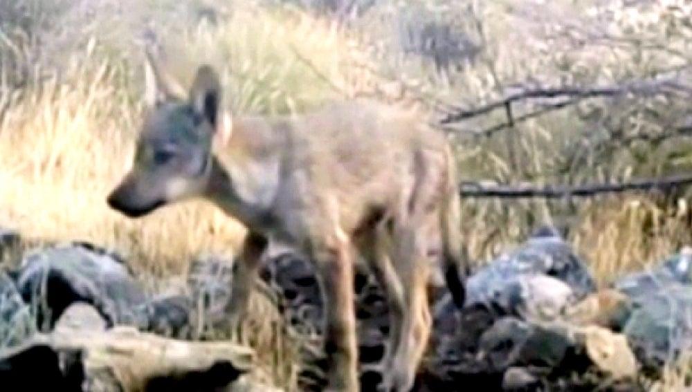 Vuelven a nacer lobos en Madrid