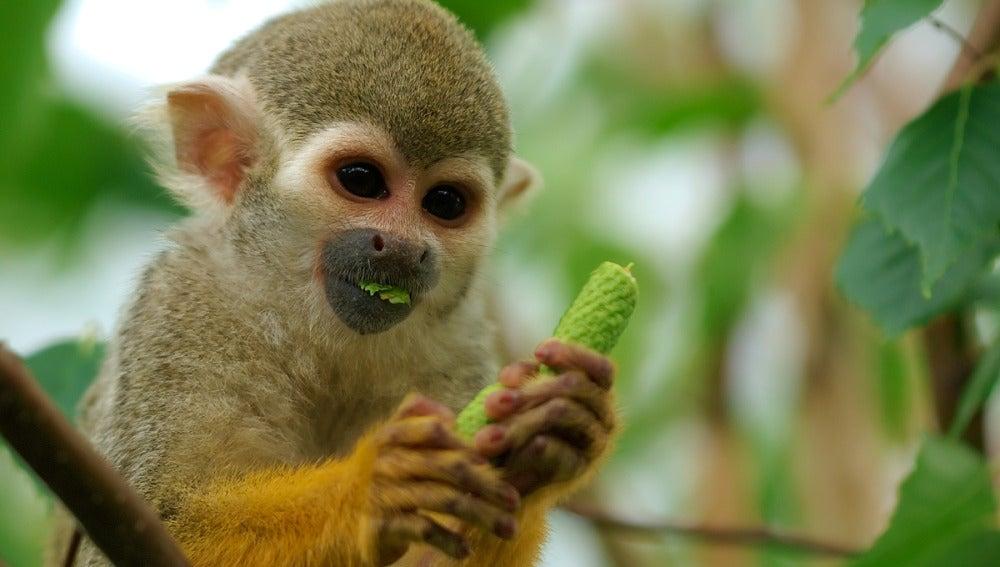 Un mono tití alimentándose