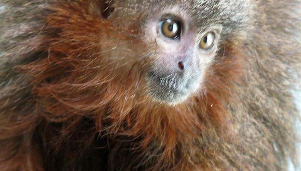 El mono tití de Caquetá ronronea como los gatos cuando se siente muy contento