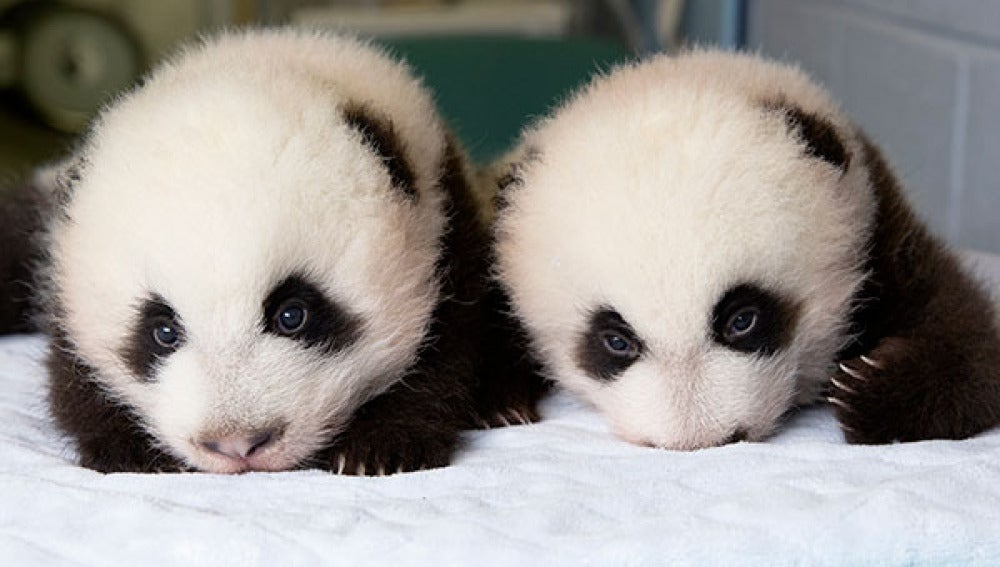 Los 100 primeros días de vida de dos pandas gigantes gemelos
