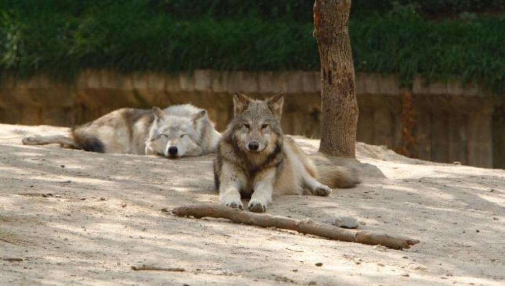 Lobos en el zoo de Barcelona
