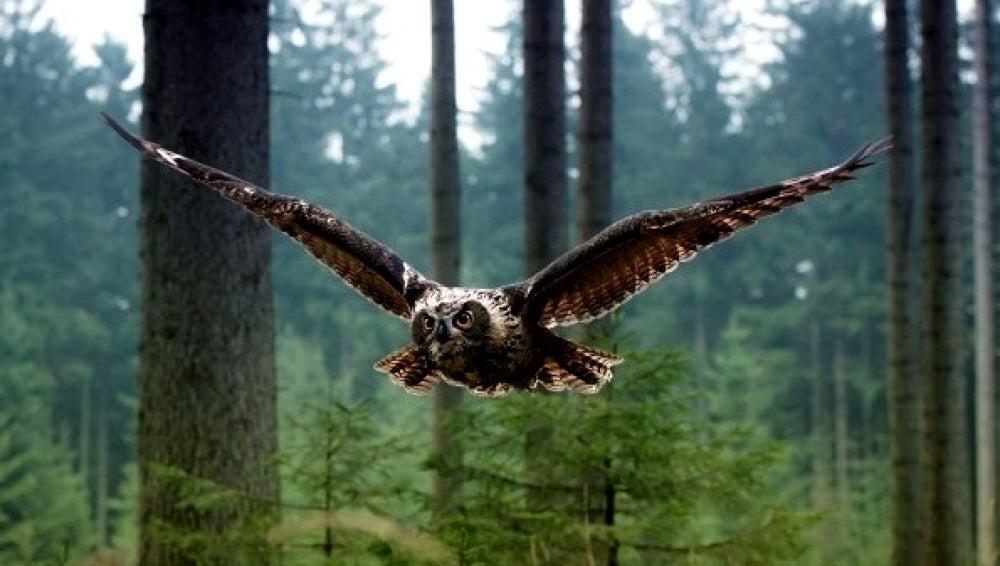 Un búho vuela en un bosque