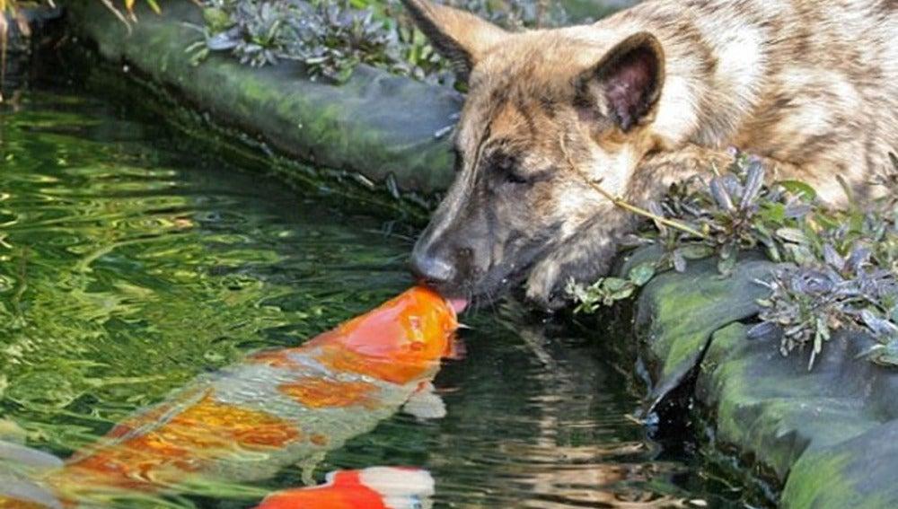Wiebe, el pastor alemán da un beso al pez Koi en el estanque de la casa familiar