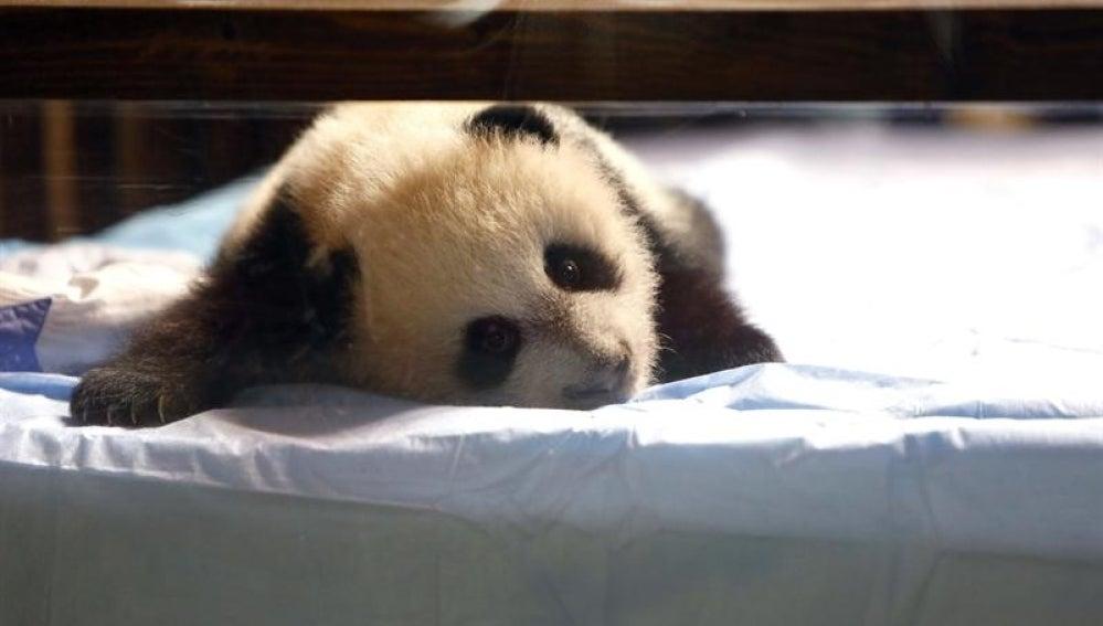 Cría de oso panda en Madrid.