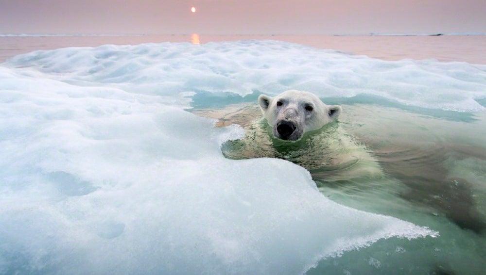 El oso en el hielo
