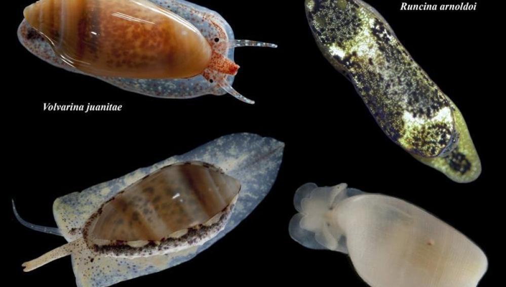 Cuatro de los moluscos descubiertos por los científicos