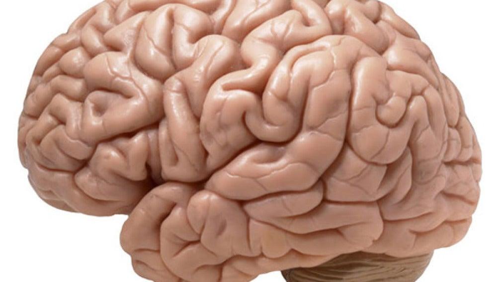 Reproducción del cerebro humano.