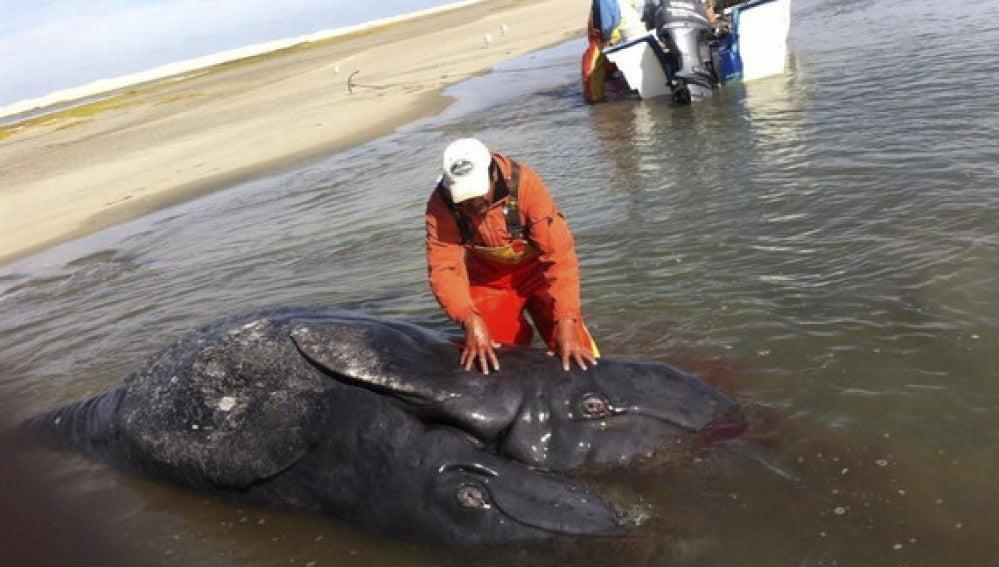 Las ballenas siamesas halladas en México