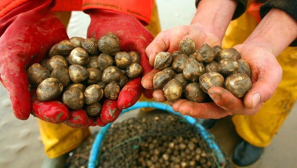 Berberechos son recogidos por pescadores en la costa.