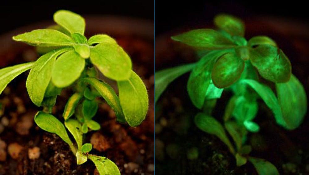 Planta luminosa