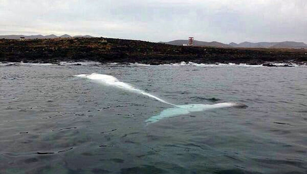 La ballena aparecida en Fuerteventura