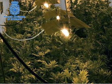 Plantación de marihuana en Granada