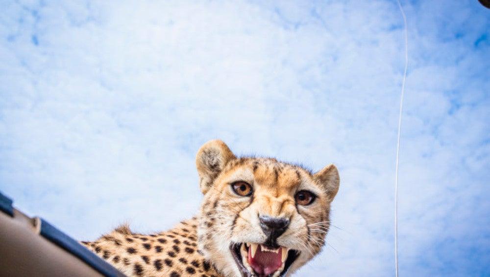 El guepardo muestra sus dientes