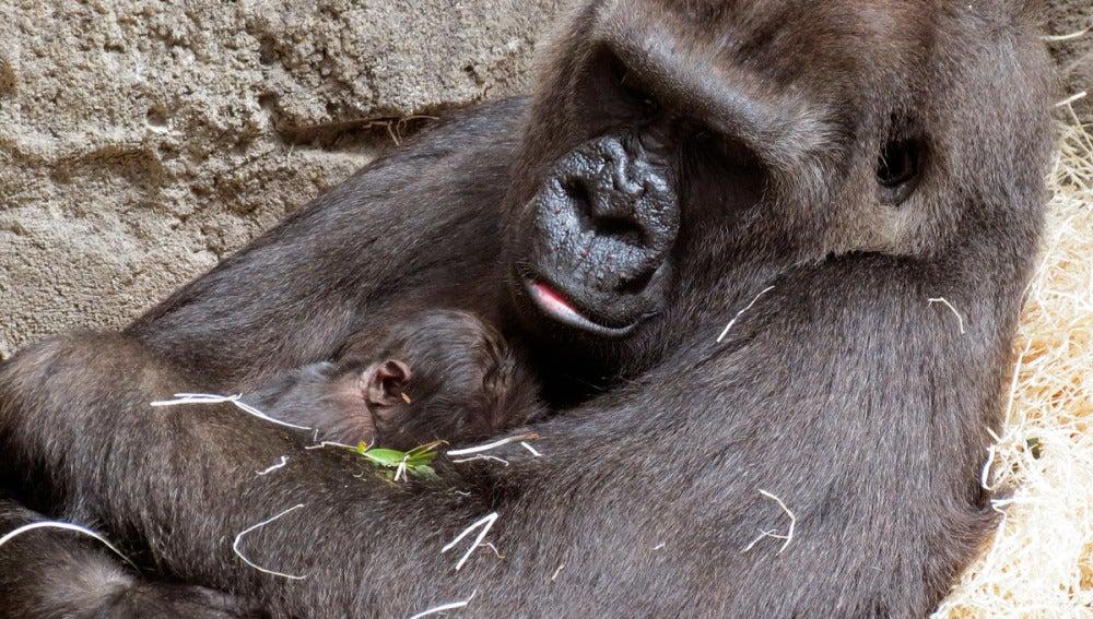Gorka, la gorila de costa, junto a su cría