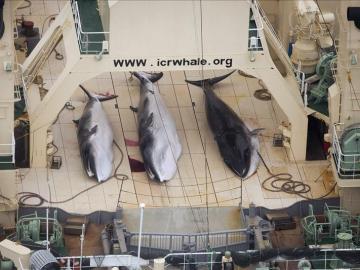 Ballenas cazadas por Japón