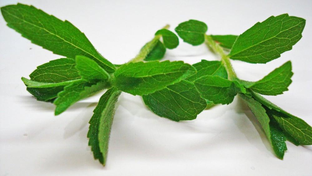 Las hojas de la Stevia tienen una sustancia 30 veces más dulce que el azúcar.