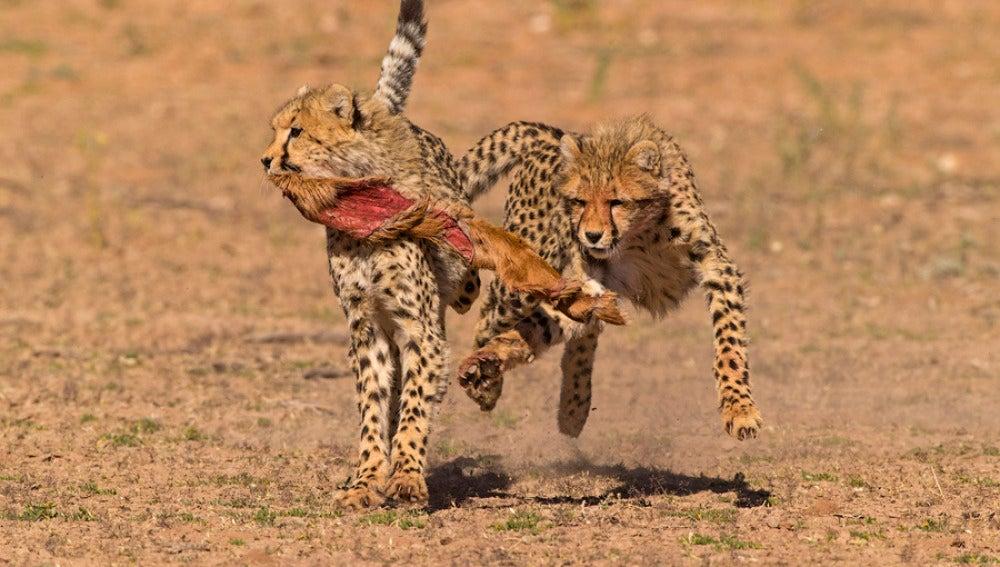 cachorros de guepardo