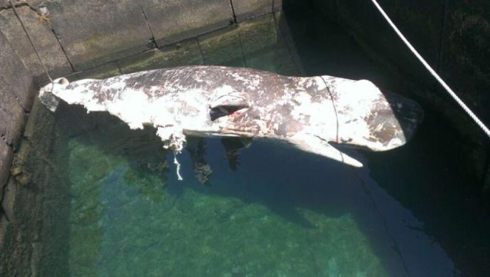 Cadáver de un cachalote de siete metros de largo al sur de Pechiguera