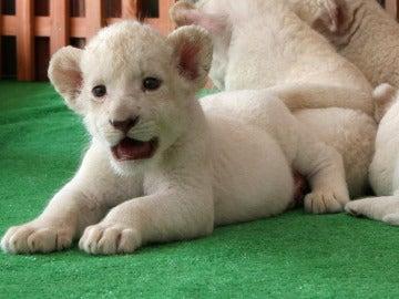 Un cachorro de león blanco nacido en Himeji, Japón