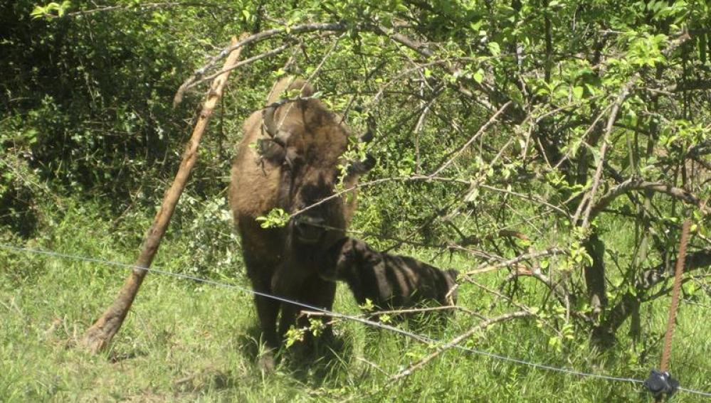 Primer bisonte europeo en 10.000 años