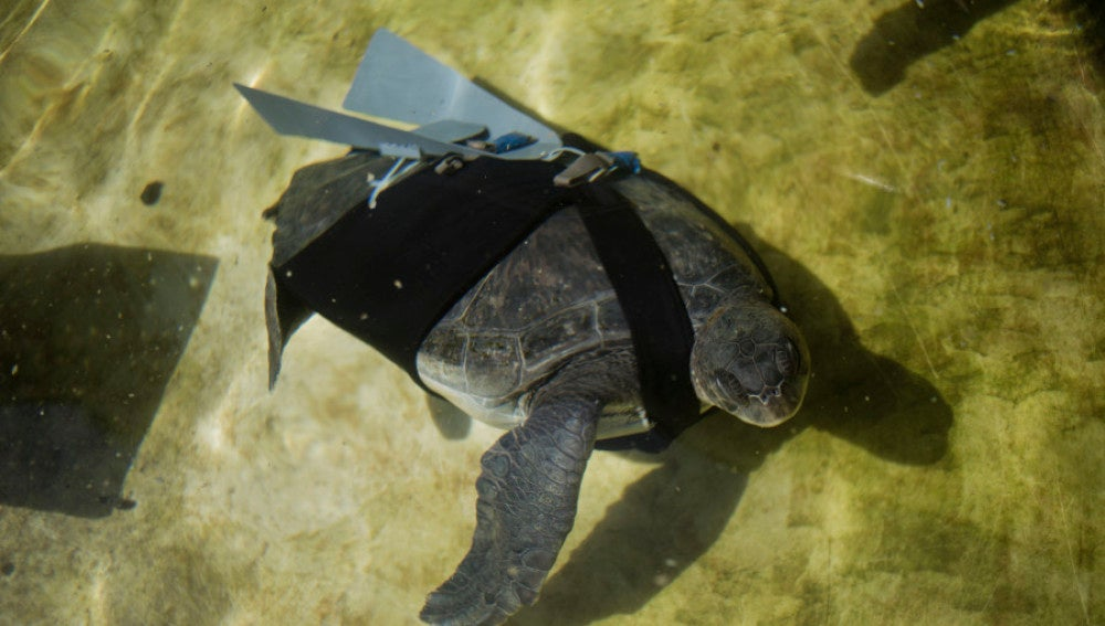La tortuga nadando con sus 'alas'