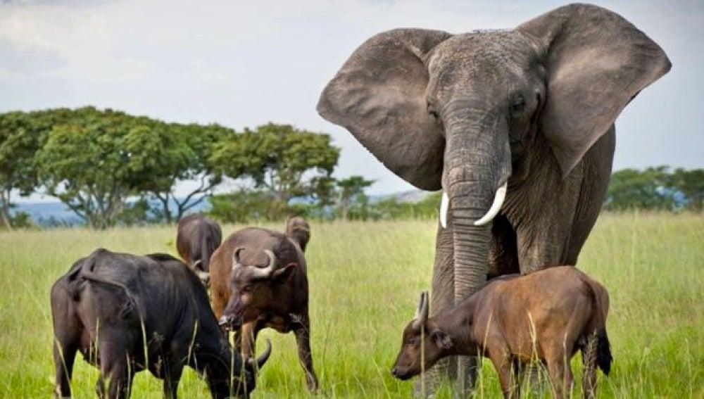 La elefante y los búfalos han establecido un sistema de comunicación entre ellos