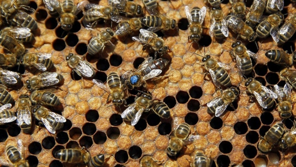 La abeja reina en su colmena (30-06-2014)