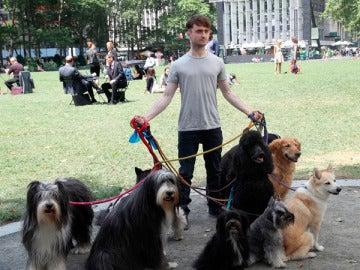 Daniel Radcliffe ahora es 'paseador de perros'
