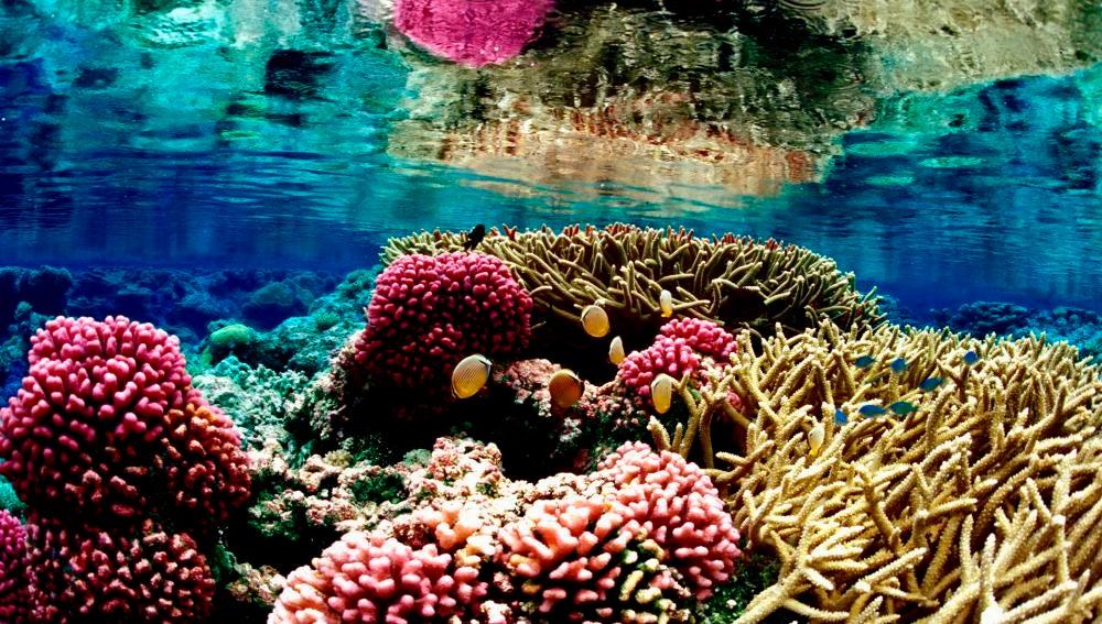 Según los científicos, la desaparición de los corales se debe a la pesca masiva del pez loro