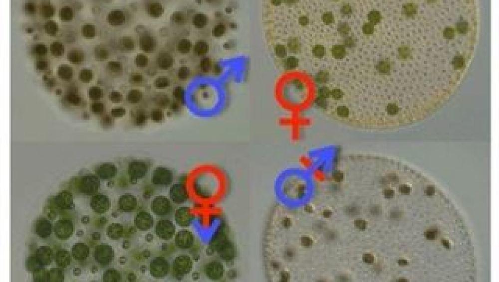 Un alga transgénero revela el origen de los sexos