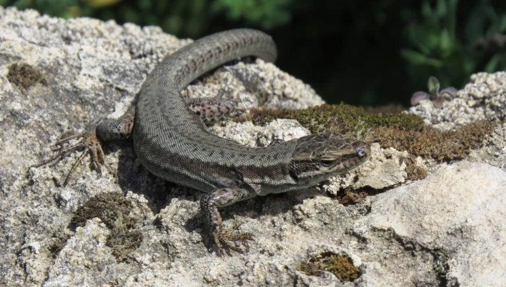 Las lagartijas eligen pareja con un método parecido al de 'piedra, papel o tijera'